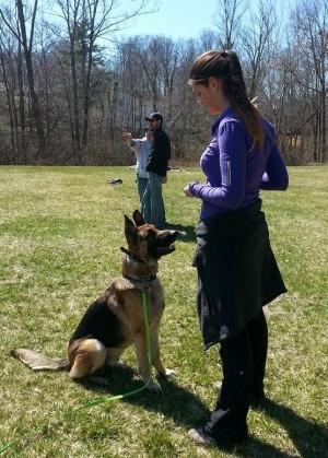German Shepherd off leash training