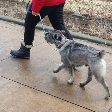 dog walking exercise schnauzer ancaster