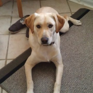 yellow lab place command orangeville