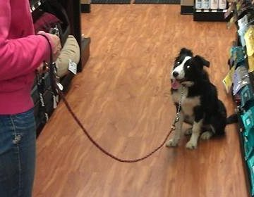 border collie training pet store binbrook