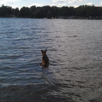 australian cattle dog off leash swimming