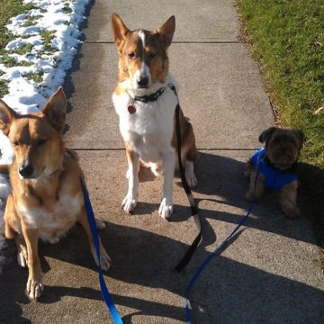 Pack walk stoney creek dog walking