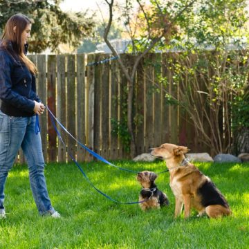 Yorkie and German Shepherd obedience training