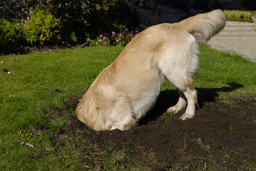 Is your dog digging in the yard?