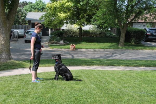 dog training german shepherd puppy