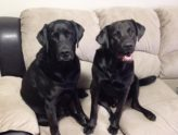 black lab mix training in binbrook